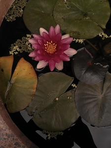 water-lily2